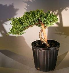 Bonsaiboy Pre Bonsai Juniper Bonsai Tree - Staked (Juniper Procumbens nana)