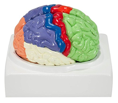 axis-scientific-human-brain-with-labeled-brain-regions-life-size-includes-colorful-product-manual