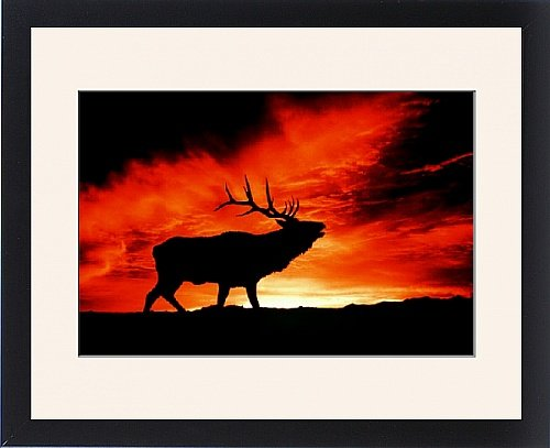 Framed Print Of American Wapiti / Elk - Bugling At Sunset
