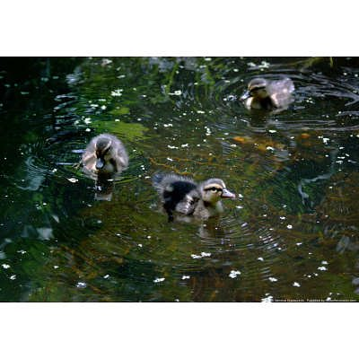 Cute Pictures Of Baby Ducks