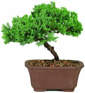 Brussel's DT2101GMJ Bonsai Tree