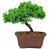 Brussel's DT2101GMJ Green Mound Junpier Bonsai
