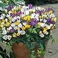 Crocus Bulbs - Pack Of 50 Mixed Crocus Species Bulbs Spring Flowering Garden Bulbs