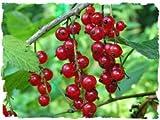 Soft Fruit Plants-Redcurrant Bush 'Laxtons No 1'