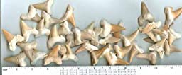 Shark Teeth - Genuine fossil - Lamna Oblique - set of 6 - from Morocco
