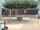 Rare Italian Tree Tomato 15 Seeds - Grows 25 Feet Tall!