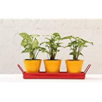 Green Gardenia Table Top Yellow Pots With Red Tray