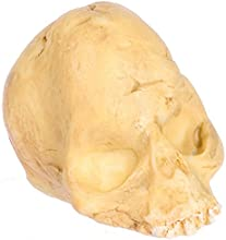 Dollhouse Miniature Human Skull in Aged Resin by Falcon Miniatures