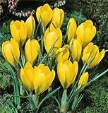 Crocus Yellow Bulbs (15 in pack)