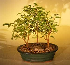 bonsai boy 39 s ficus bonsai tree variegated 3 tree forest group ficus benjamina. Black Bedroom Furniture Sets. Home Design Ideas
