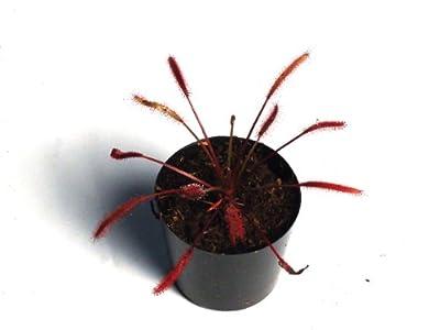 食虫植物 Drosera capensis all red (ドロセラ カペンシス)