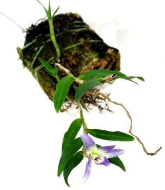 blaue orchidee wie sie gef rbte bl ten erkennen und. Black Bedroom Furniture Sets. Home Design Ideas