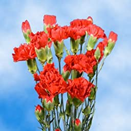 160 Stems of Fresh Cut Red Spray Carnations | 640 Blooms | Fresh Flowers Express Delivery | Perfect for Birthdays, Anniversary or any occasion.