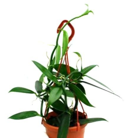 a-flowering-size-orchid-species-vanilla-planifolia-12cm-light
