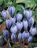Crocus Blue Bulbs (15 in pack)