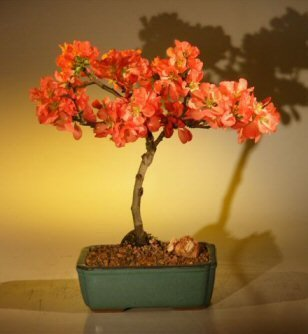 Bonsai Boy's Japanese Flowering Quince Bonsai Tree - Super Red chaenomeles japonica 'moned' (Red Bonsai Tree compare prices)