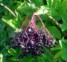 Black Elder - Sambucus Nigra - 1 Pkt Of 25 Seeds - Ornamental Shrub