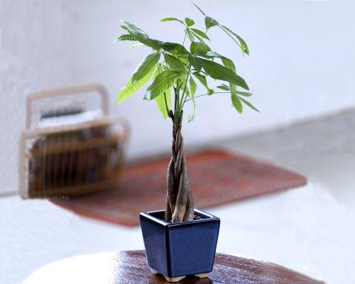 Braided Money Tree - Live Plant - Bonsai Plant in Ceramic PotB0001WYNKA