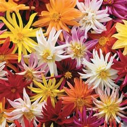 Buy Dahlia Star-Gazer – Park Seed Dahlia Seeds