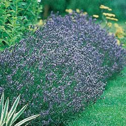 Lavender Hidcote Blue - Park Seed Lavender Seeds - Buy Lavender Hidcote Blue - Park Seed Lavender Seeds - Purchase Lavender Hidcote Blue - Park Seed Lavender Seeds (Park Seed, Home & Garden,Categories,Patio Lawn & Garden,Plants & Planting,Outdoor Plants,by Moisture Needs,Regular Watering)