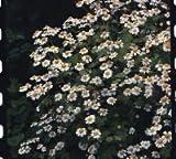 Just Seed Herb - Feverfew - Tanacetum partheniu - 900 seeds