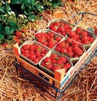 Strawberry Sarian Red, Fragaria x ananassa, 50 Hybrid Seeds by David's Garden Seeds