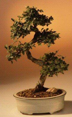 Chinese Elm Bonsai Tree - Medium by Bonsai Boy