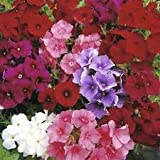 Phlox Beauty Mixed seeds