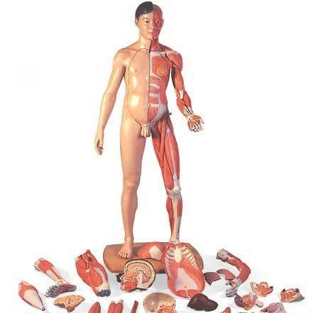 3B社 人体解剖模型 筋肉解剖等身大両性型39分解モデルアジア仕様 (b52)