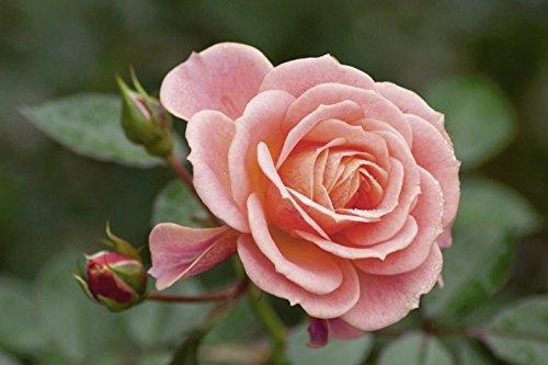 Artland Wandbild auf Alu-Verbundplatte Anja Ergler Romantica Botanik Blumen Rose Fotografie Pink/Rosa 20 x 30 x 1 cm