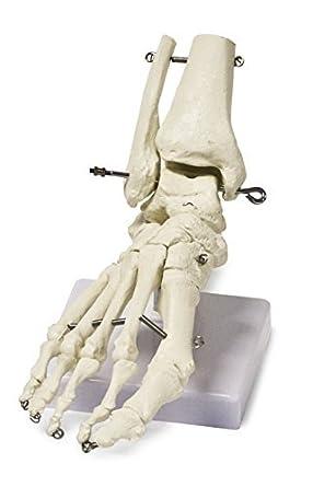Modelo del esqueleto B10211 Pie humano en la base, de tamaño natural