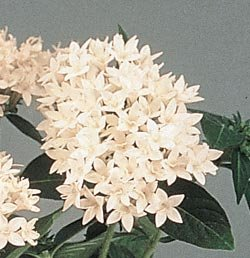 Buy Pentas New Look White – Park Seed Pentas Seeds