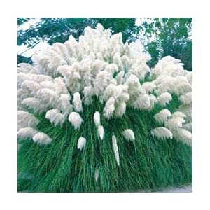 White Pampas Grass Cortaderia 200 Seeds