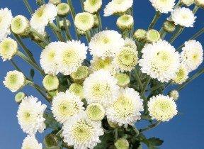 Pom Poms Assorted White Button 144 Flowers