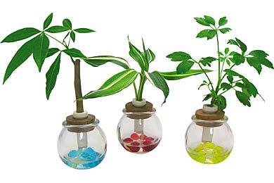 ミニ観葉植物「セラハイト」3個セット