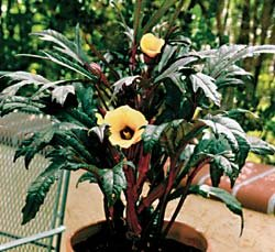 Buy Okra Little Lucy Hybrid – Park Seed Okra Seeds