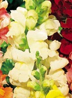 Buy Snapdragon Rocket White Hybrid – Park Seed Snapdragon Seeds