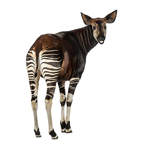 Rear View of Okapi Wall Decal<br>Peel and Stick <br>18 in H x 18 in W