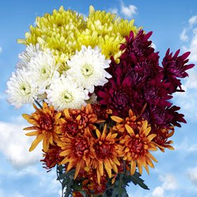 Gorgeous Assorted Chrysanthemums Cushion Flowers | Pom Poms Assorted Cushion 72 Flowers