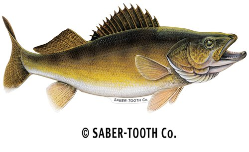 Walleye Decalsticker Fresh Walleye Fish