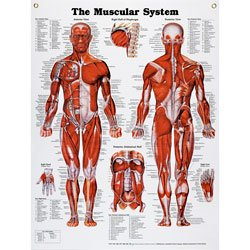 Peter Bachin Anatomical Chart Series - Muscular System