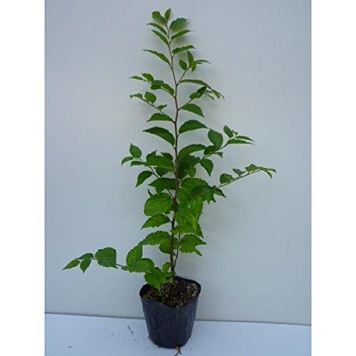 エノキ 樹高0.5m前後 10.5cmポット 苗木 植木 苗 庭木(お得なセット販売もございます)