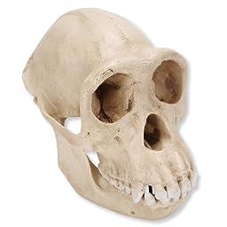 3B Scientific VP760/1 Female Chimpanzee Skull (Pan Troglodytes), 6.7\