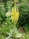 Königskerze gelb - Verbascum olympicum - Staude von Native Plants