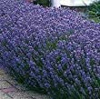4 Munstead Lavender Plants in 4 Inch Pots