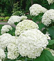 White Hydrangea 3 Seeds---dwarf Tree