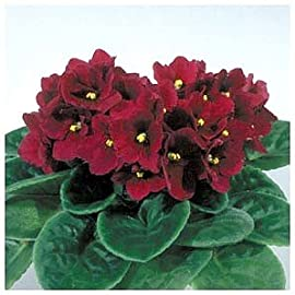 California Optimara African Violet -4 Pot -Full Bloom