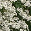 Outsidepride Yarrow White Wildflower - 1 LB