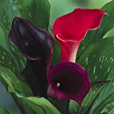 Calla Lily Bulbs Samba Mix