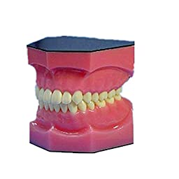 YR Two Full Mouth Denture Medical Model for Teaching
